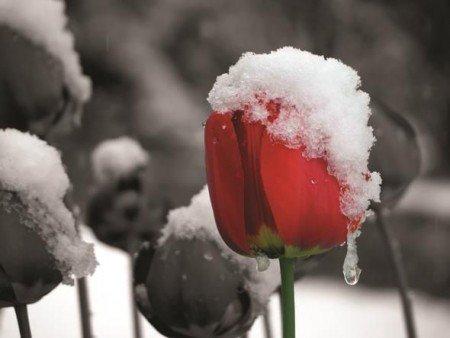 Lale-Kar Kanvas Tablo - Thumbnail